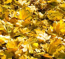 Selective focus on a set of yellow autumn fallen maple leaves by vladromensky