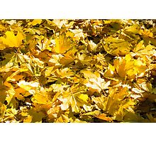Selective focus on a set of yellow autumn fallen maple leaves Photographic Print