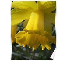 Daffodil Galore Poster