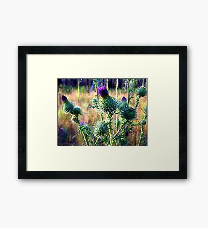 Canadian Thistle Framed Print