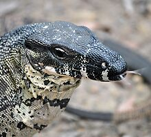 Lace Monitor by BK Photography