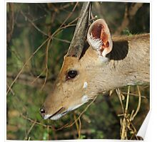 Bushbuck in profile Poster