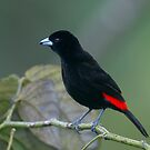 Male Passerini's Tanager - Arenal Observatory Lodge, Costa Rica by Stephen Stephen
