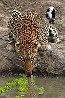 Steely stare by Explorations Africa Dan MacKenzie