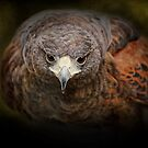 Harris Hawk by Pat Abbott