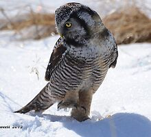 Northern Hawk Owl Doing A Dance by Trish Sweett