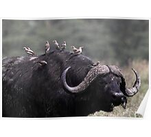 African Buffalo with Oxpeckers Poster
