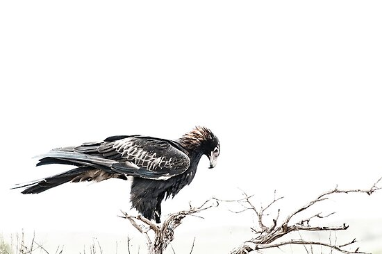 Contemplation, Wedge Tail Eagle on White by benjraynor