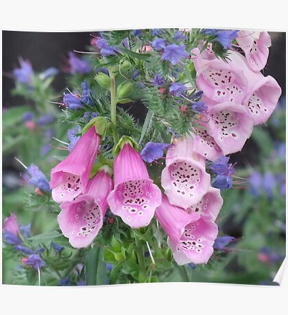 Foxglove and Viper's Bugloss Poster