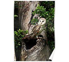 Australian Barn Owl  Poster