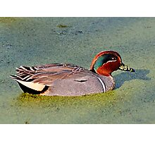Green Winged Teal Duck (Male) Photographic Print