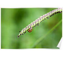 Lady bug on paspalum Poster