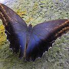 Owl butterfly ,  Caligo by ienemien