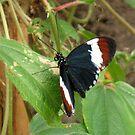 Heliconius butterfly by ienemien