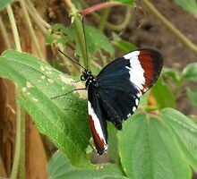 Heliconius butterfly by ienemien