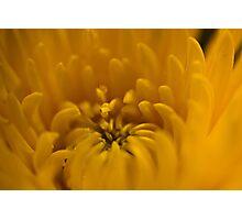 Yellow dahlia 1  Photographic Print