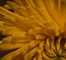 Yellow Dahlia 2  by KSKphotography