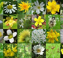 Yellow & White Wild Flowers of Argyll by cuilcreations