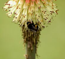 Bee on Red Hot Poker by Andy Merrett