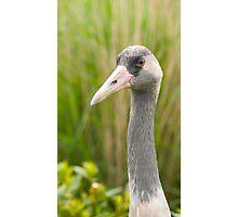 Eurasian Crane Photographic Print