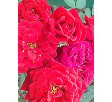 Roses of Red Photographic Print