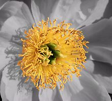 Crowned Peony by Sharon Woerner