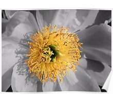 Crowned Peony Poster