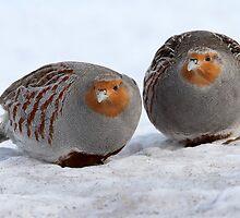 And A Partidge Pear, I mean Pair  by Gary Fairhead
