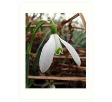 Snowdrop (Galanthus nivalis) Art Print
