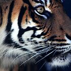 Tiger's  questions ! by miroslava