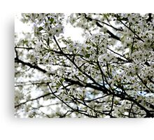 Pear Blossoms in Bloom Canvas Print