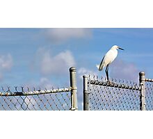Snowy Egret - Chain Link Fence Photographic Print