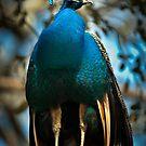 Peacock Perch by Joe Jennelle