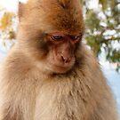 Sad monkey by Robert Down
