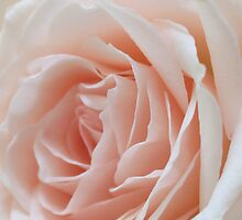 Pastel Pink Rose by AuntDot