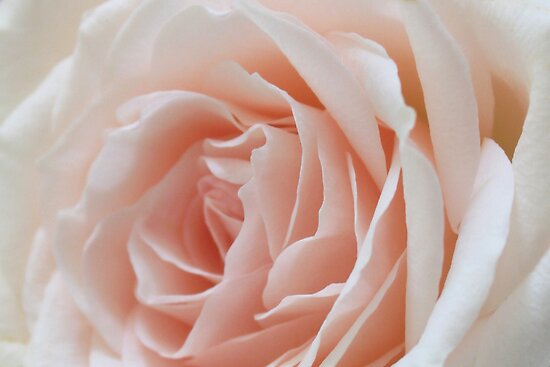 Pastel Pink Rose by AuntDot