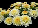 Lemon Meringue Chrysanthemums by MotherNature