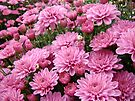 Pink Chrysanthemums by MotherNature
