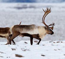 Caribou Migration by Martin Smart