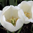 Two White Tulips by Rosalie Scanlon
