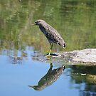 Juvenile night heron  by NewfieKeith