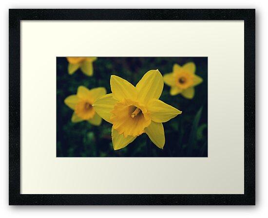 Yellow Daffodils by cycreation