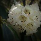 White Rhododendron by Geoffrey Higges