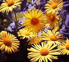 Yellow Daisies by cycreation