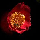 Camellia on Black by Geoffrey Higges
