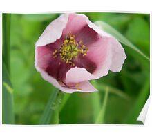 Cruciform Pattern to Center of Wild Opium Poppy! Poster