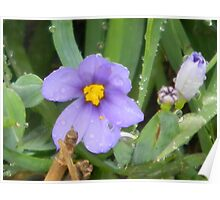 Narrow Leaved Blue-eyed Grass, of the Iris Family Poster