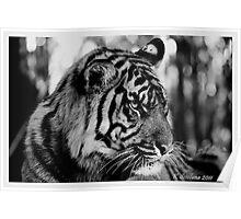 B/w tiger portrait 2 Poster
