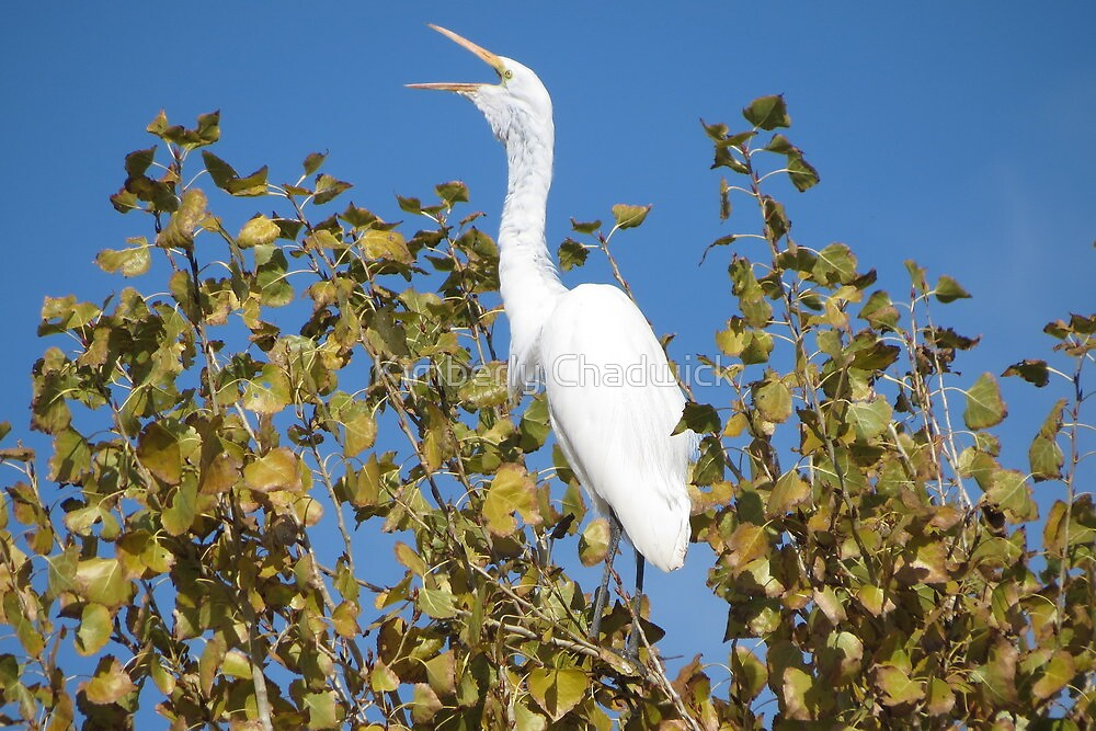 Great White Egret ~ ♪ I'm Sexy and I know it ♫ by Kimberly Chadwick