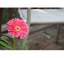 Pink Daisy Photographic Print